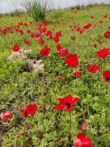 דרום אדום- מרבדי כלניות